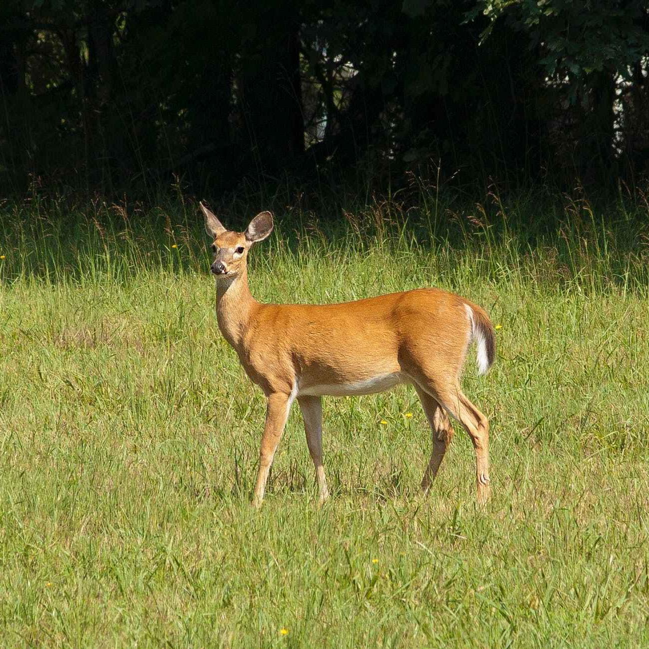 Paradise Farm Vets Deer